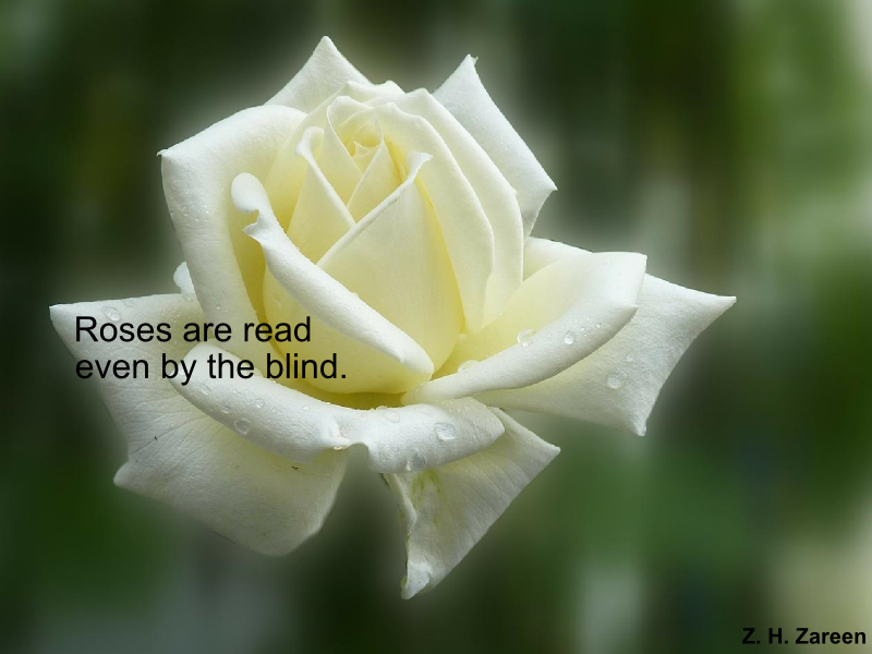 """A white rose with the words """"Roses are read, even by the blind""""."""